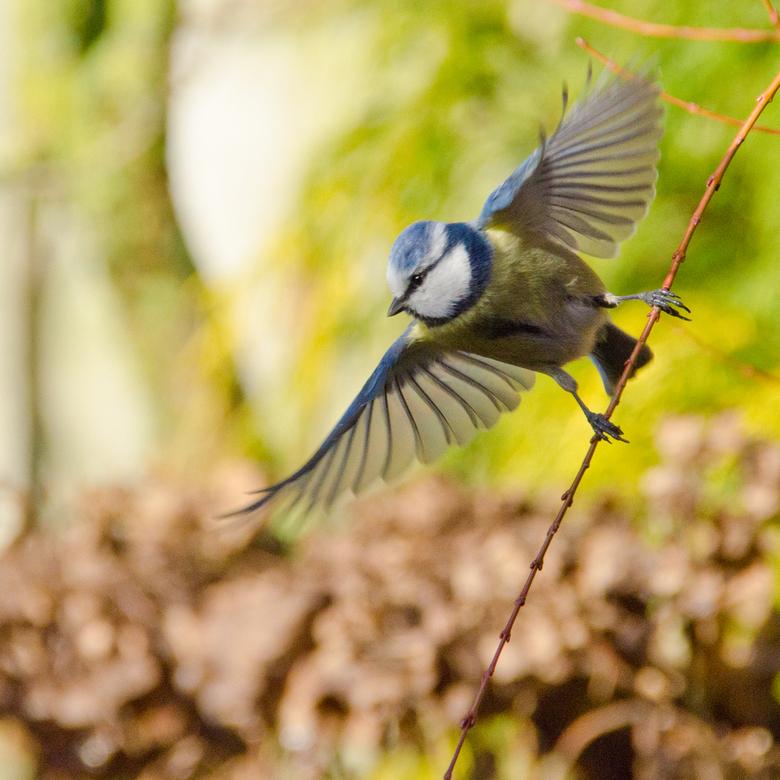 pimpelmees - Pimpelmeesje op moment van wegvliegen