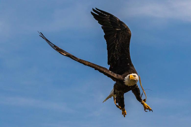 Arend @ Beekse Bergen - Amerikaanse Zeearend tijdens de Roofvogelshow in Beekse Bergen