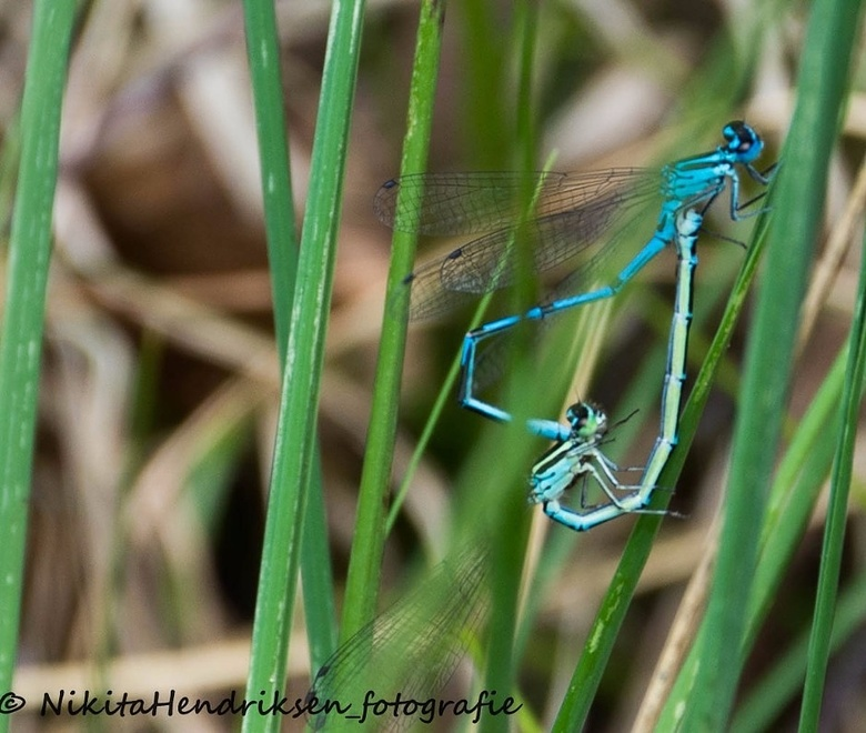 libelles