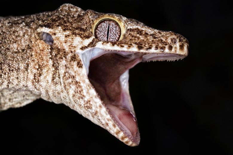 Gargoyle Gecko - Tot hier en niet verder. Een dreigende Gargoyle gecko (Rhacodactylus auriculatus) laat zien dat hij het zat is.