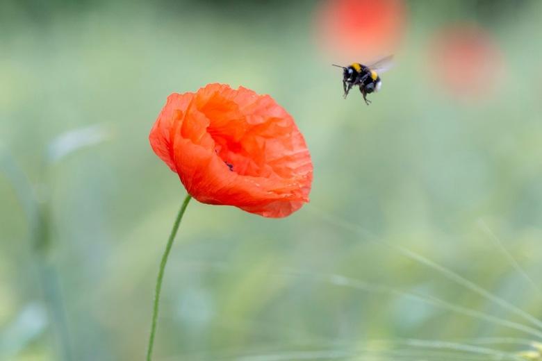 Kiss from a rose - Weinig inspiratie om te fotograferen. Wat mis ik de lente en zomer. Hier een foto uit het archief, een mooi klaproosveldje nabij Oo