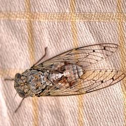 Een Cicade........