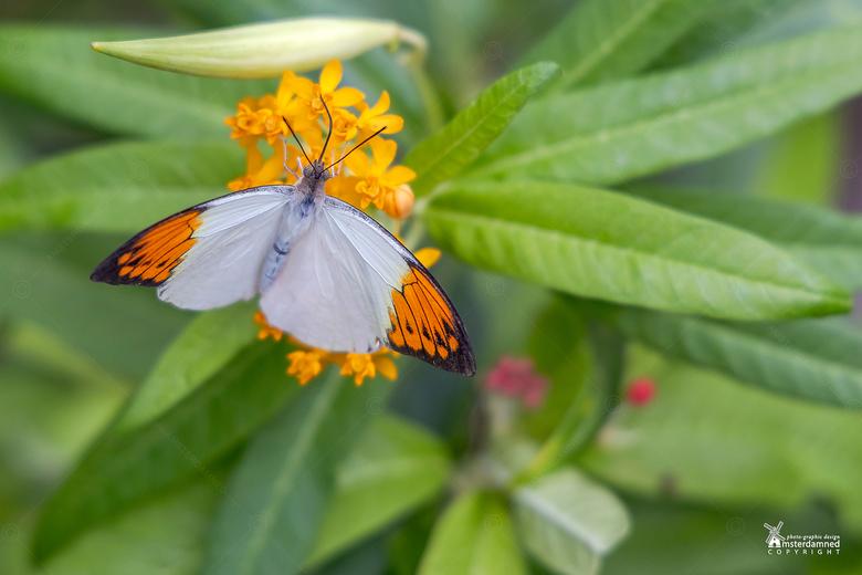 Vlinders aan de Vliet - Het oranjetipje is een gemakkelijk te herkennen voorjaarsvlinder die, heel toepasselijk, rond Koningsdag te vinden is. De rest