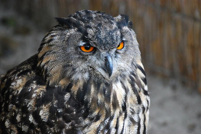 Uil - Deze foto is genomen bij Eureka Vogelbush. Op Texel