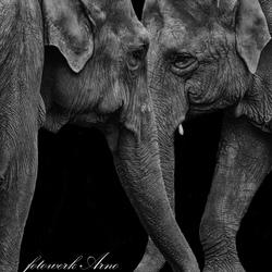 olifant liefde