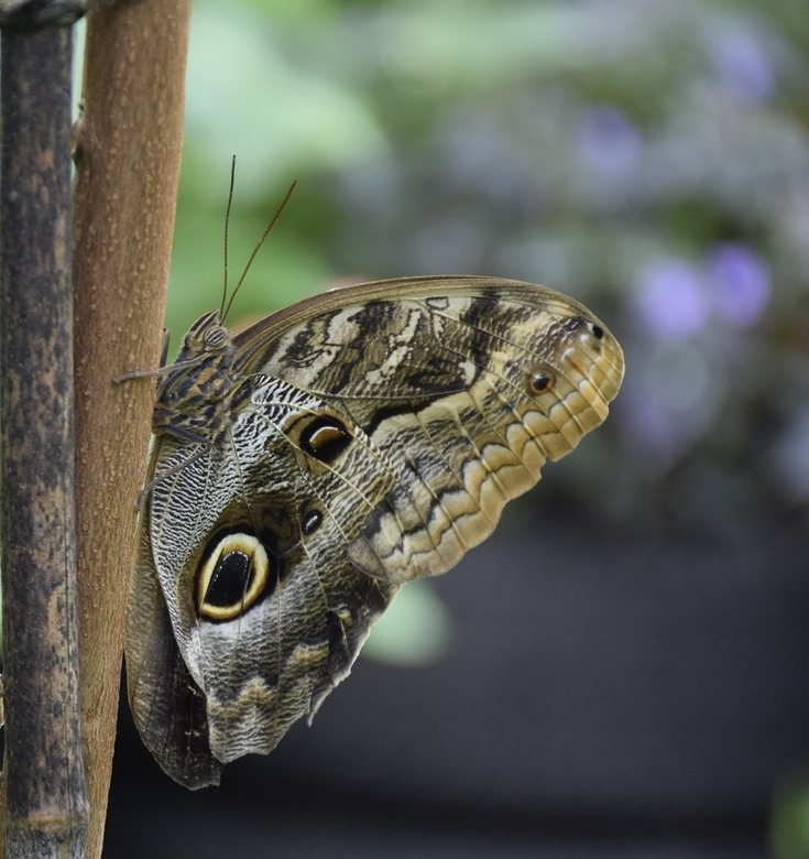 vlinder Morpho