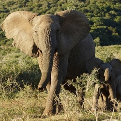 Mama olifant met kind