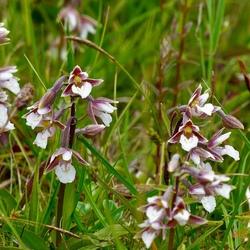 moeraswespenorchidee