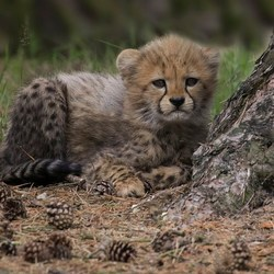 little cheeta