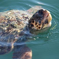 Kefalonische schildpad