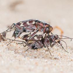 parende zandkevers