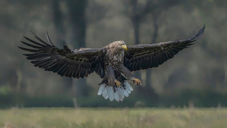 Mighty Wings - Europese zeearend (White tailed Eagle).<br /> <br /> Bedankt voor de leuke en bemoedigende reacties en stemmen op mijn vorige foto`s.