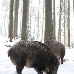 Zwijn Bayerischer Wald