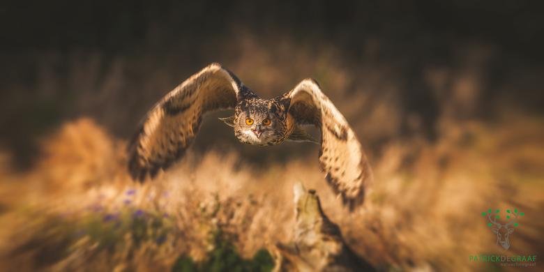 Incomming - Een oehoe die op je afkomt vliegen is toch best wel indrukwekkend