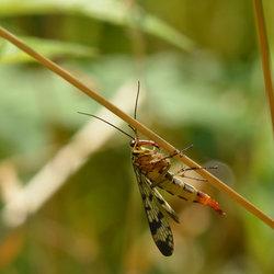 Panorpa Germanica (Schorpioenvlieg)