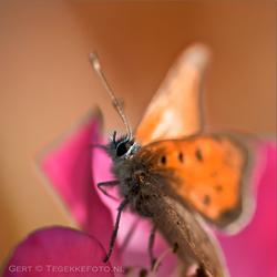 de laatste vlinder dit jaar ?