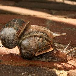 slakkenpaar