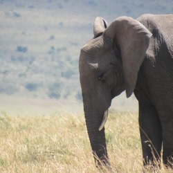 Olifant in Kenia