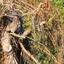 Gecamoufleerde steenuil