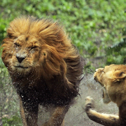 Lions on the loose!