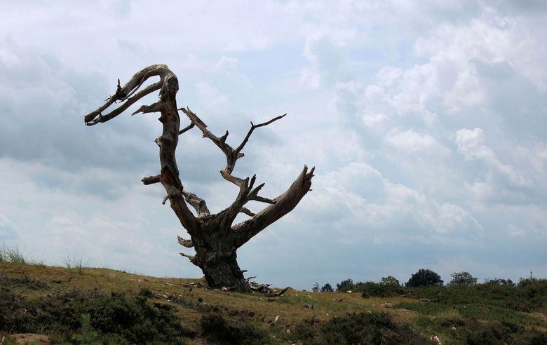 dino boom  - Kale Duinen (Aeckingerzand) bij Appelscha. Na de storm op 25 juli stond deze toch nog overeind. Als een soort van dino tegen de wolkenlu