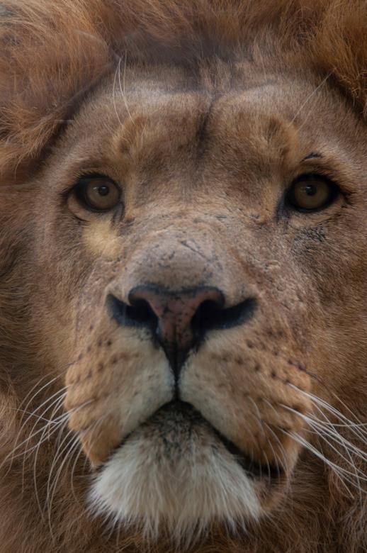 heel dichtbij - Tijdens een bezoek aan de dierentuin kwamen we natuurlijk ook langs de leeuwen. Deze kwam wel heel dichtbij en bleef mooi staan. Doord