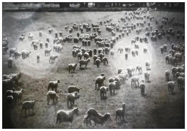 Als makke schapen.... -