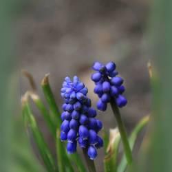 Blauwe druif.