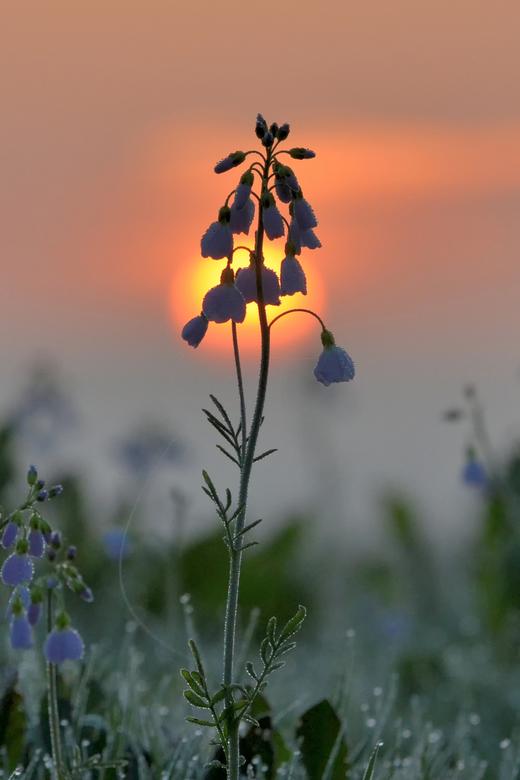 Dauwdruppels - Vroeg op pad om deze pinksterbloem bij zonsopkomst te kunnen fotograferen.<br /> <br /> <br /> <br /> Meer fotowerk van mij kun je