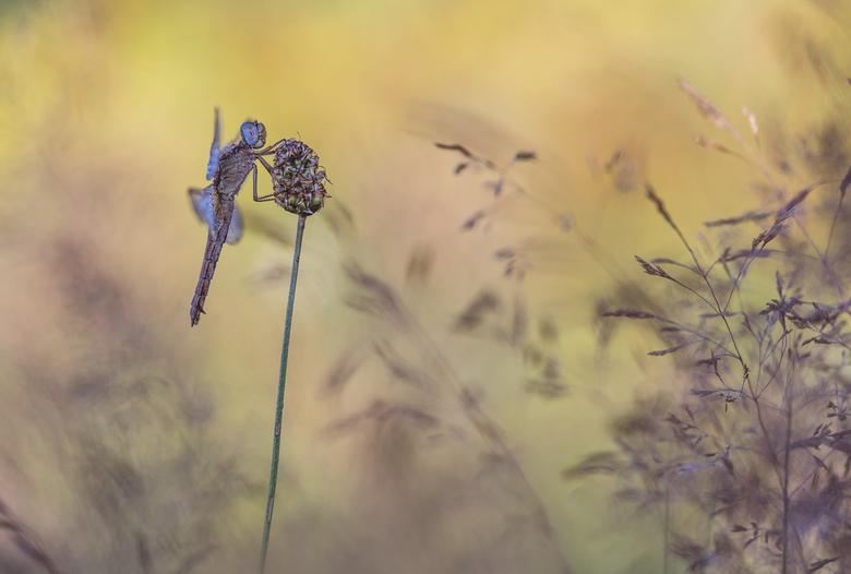 Lady fire - Deze week een aantal vrouwtjes van de vuurlibel gevonden, de mannetjes waren helaas nergens te bekennen. Maar ach, de dames met hun mooie