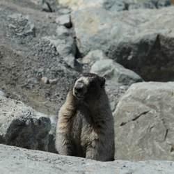 Marmot II