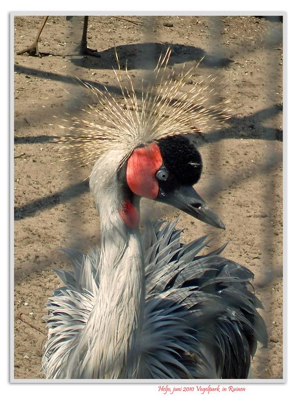 Kraanvogel - Alle kraanvogels zijn grote vogels met een lange poten en lange nek. Anders dan de blauwe reiger, die er ongeveer hetzelfde uitziet maar