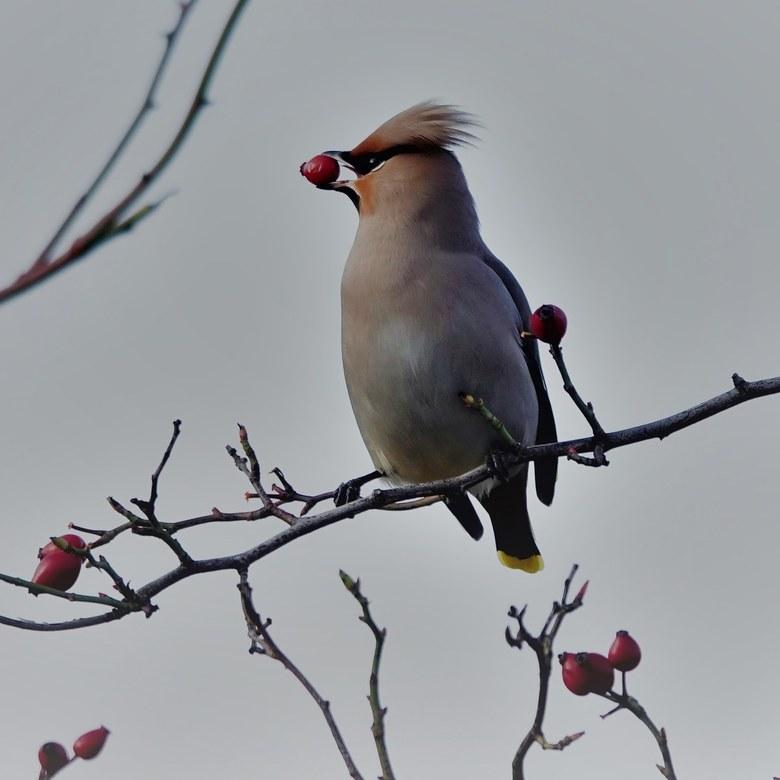Pestvogel, wat een mooie vogel -