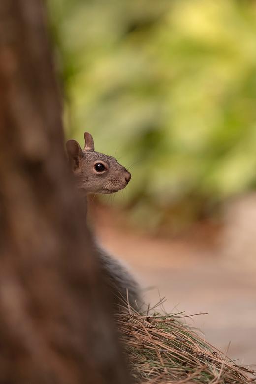 """Verstoppertje - Toen deze eekhoorn mij zag aankomen verstopte hij zich snel achter de boom <img  src=""""/images/smileys/smile.png""""/>"""
