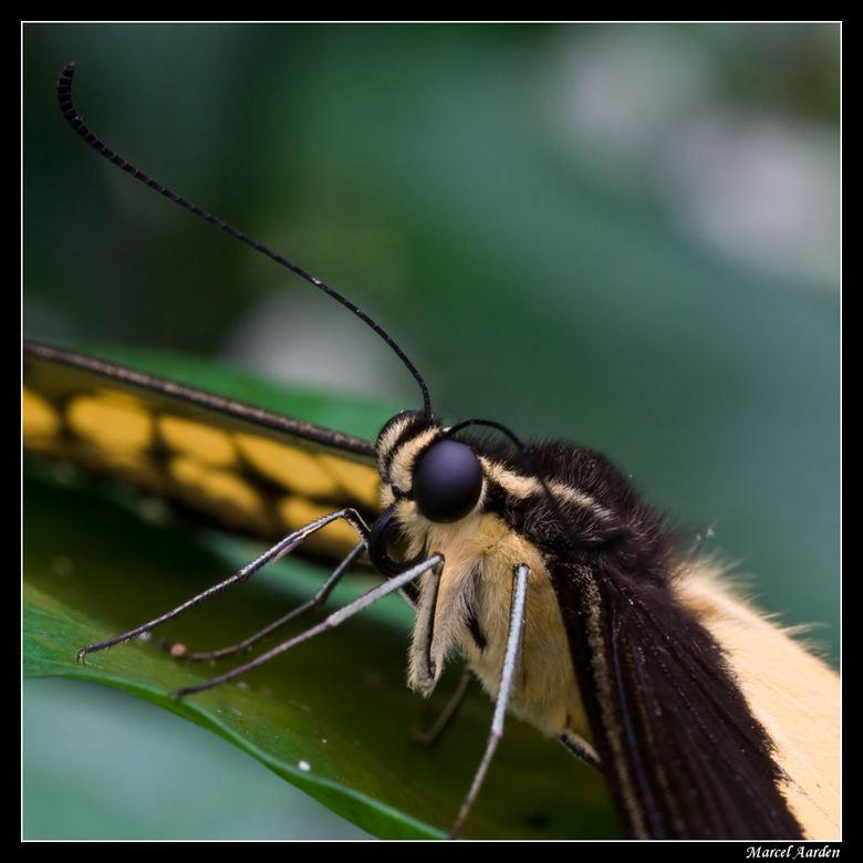 Papilio cresphontes - Deze bleef mooi zitten waardoor ik een close up kon maken.<br /> Weer gezien in d vlindertuin van Artis<br />