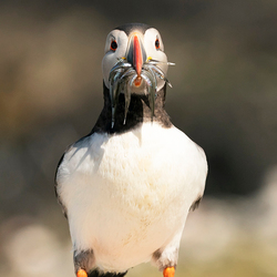 Puffin portret Zoom