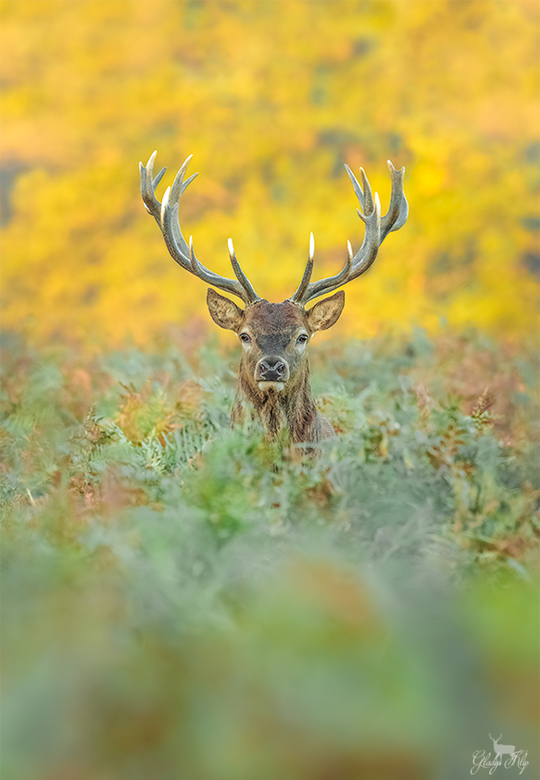Herfst! - Je ziet een mooie plek en denkt, dit is prachtige achtergrond, nu nog een passerend hert en je wacht en wacht en dan.. Heel soms komen je we