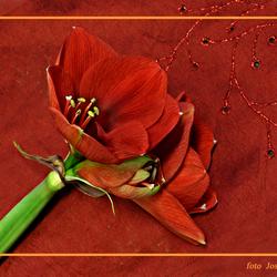 Amaryllis in het rood