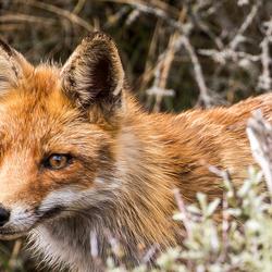 Een vos  bij AWD