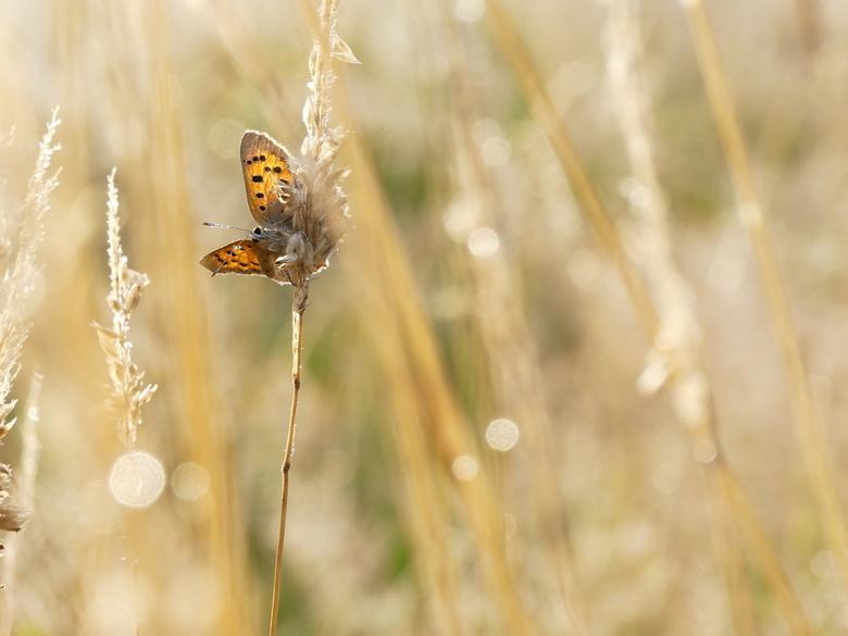 Little Wings - Vroeg vlindertje vlak na zonsopkomst warmt zichzelf op voor een nieuwe dag.<br /> <br /> Onbewerkte JPEG rechtstreeks uit mijn nieuwe