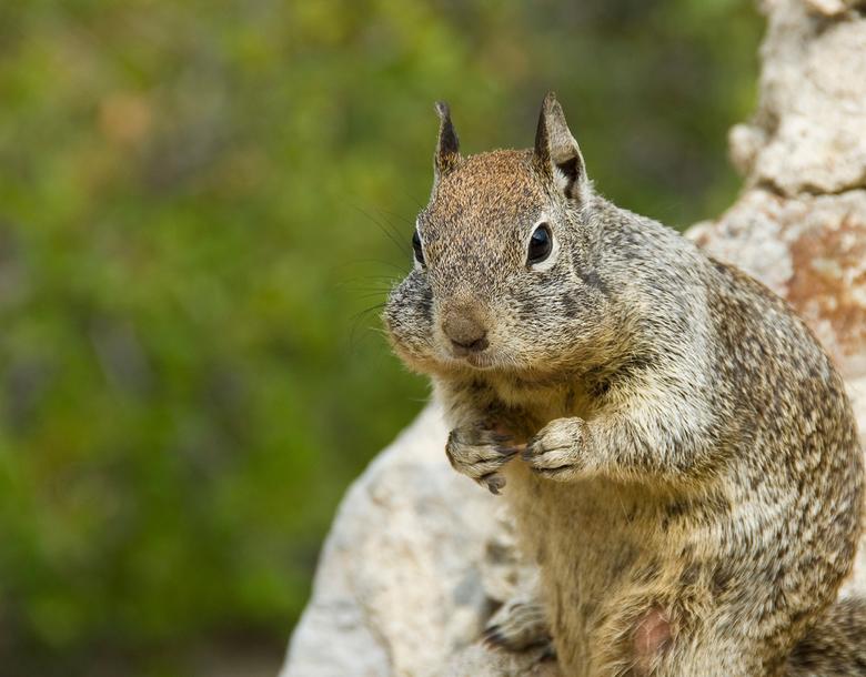 Squirrel - Yosemite NP, USA