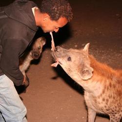 Hyena's voeren in Harar