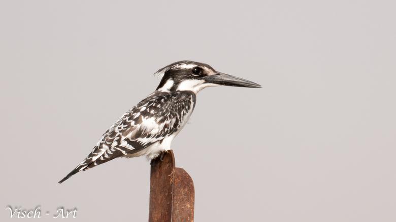 Bonte IJsvogel (Ceryle rudis);  - Mooie bonte ijsvogel in Burkina Faso(west Afrika)