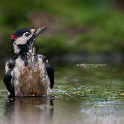 Dirty Woodpecker