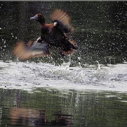 Kuifeend maakt vliegende start om meeuw te verjagen
