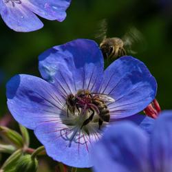 bijen bij geranium