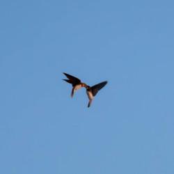 Zwaluwen boven plas Exloo