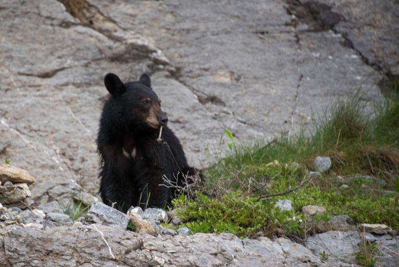 Jonge beer - Jonge beer langs de kant van weg in Canada.