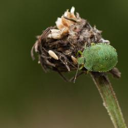 Groene stinkwants nimf