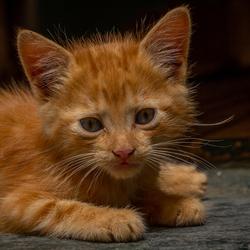 kitten in Meknes